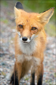 Red Fox  Vulpes vulpes