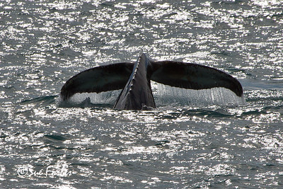 Humpback whale (megaptera novaeangliae) diving, Smeerenburghfjorden, Spitsbergen
