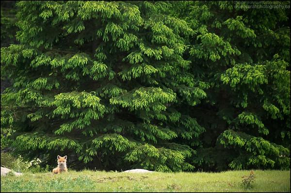 Red Fox Kit Vulpes vulpes
