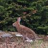 snowshoe hare (Lepus americanus)