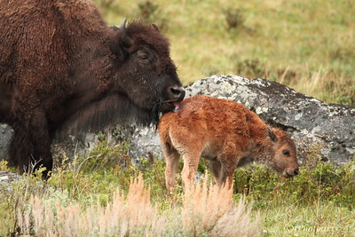 """Bath Time for Baby"" Bison mom licks calf clean in Yellowstone National Park.  #83051296  © Payam Nashery - Photoarts"