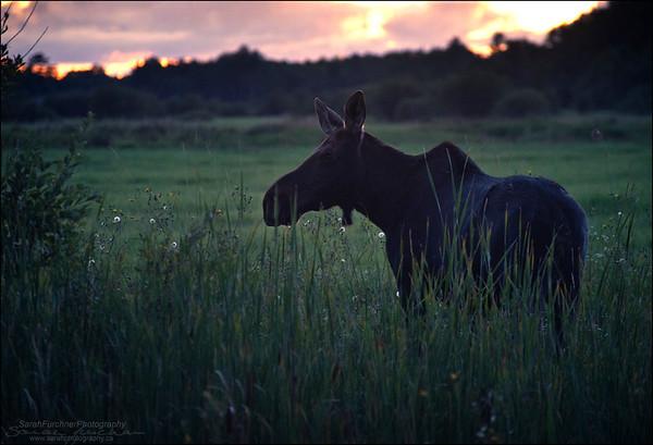 Cow Moose.  Alces alces