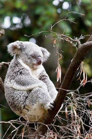 """""""Koala Dreaming"""""""