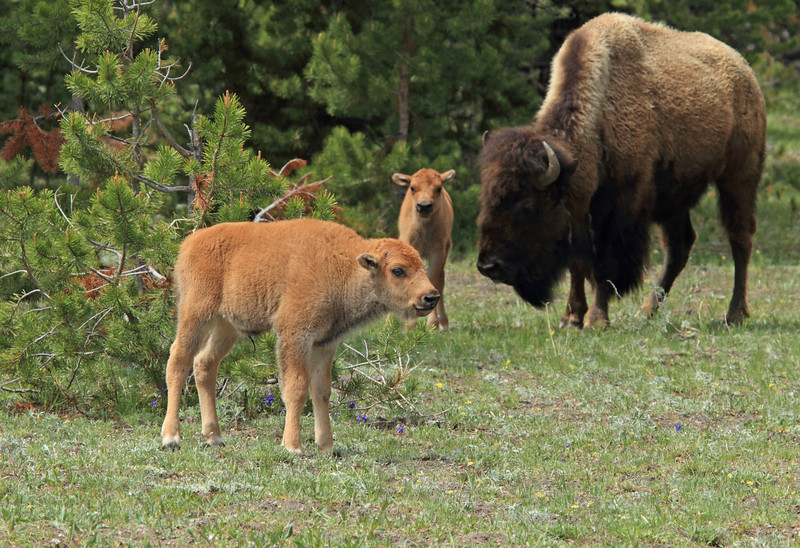 American Bison with calves.