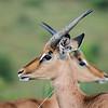 Impala-Antilopen, Aepyceros melampus, Ithala Game Reserve, KwaZulu Natal, Südafrika, South-Africa, Ithala Game Reserve, Südafrika, South Africa