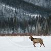 Elk Cow crossing frozen lake, Banff National Park