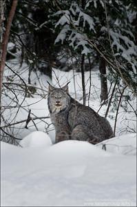 Canada Lynx Lynx canadensis