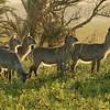 Wasserböcke im Abendlicht, Waterbuck, Kobus ellipsiprymnus, Cape Vidal, Greater St. Lucia Wetland Park, KwaZulu-Natal, South Africa