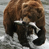 Grizzly Bear with his catch<br /> After catching this salmon the Grizzly Bear wondered into the forest to eat it before returning for his next dish.  Brooks River, Katmai, Alaska