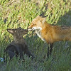 Red Tailed Fox Pups<br /> Boulder County, Colorado<br /> N. 75th St.
