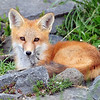Red Tail Fox (Pup)<br /> Boulder County, Colorado<br /> North 75th St.