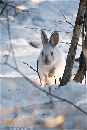Snowshoe Hare Lepus americanus