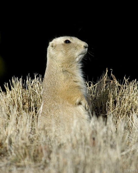 Prairie Dog<br /> Boulder County, Colorado