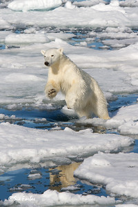 Power of the Polar Bear leap