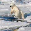 Power of the Polar Bear leap