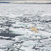 Polar Bear (ursus maritimus) walking on the pack ice, Svalbard, Norway