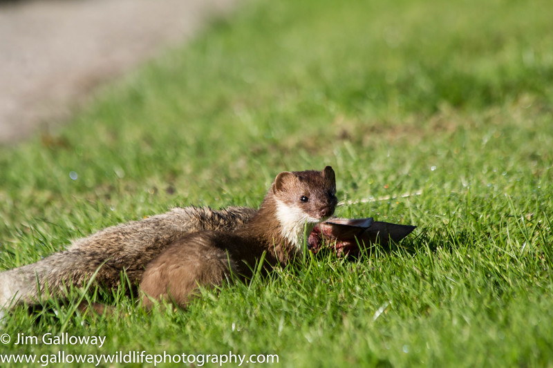 Stoat, Mustela erminea