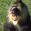 This mandrill with attitude is beautiful but dangerous as well.