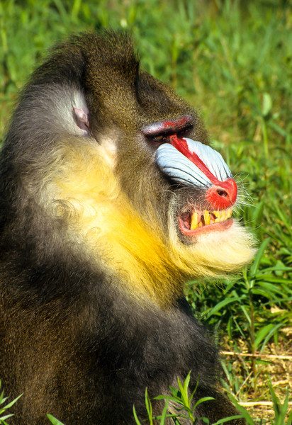 Mandrill's are primates and are related to the Baboon family.  They are very colorful and have a lot of character.