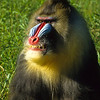 Mandrill's are the largest monkey species in the world.  They have a distinctive red and blue face and eyebrows.  Their fur is an olive color with variations.