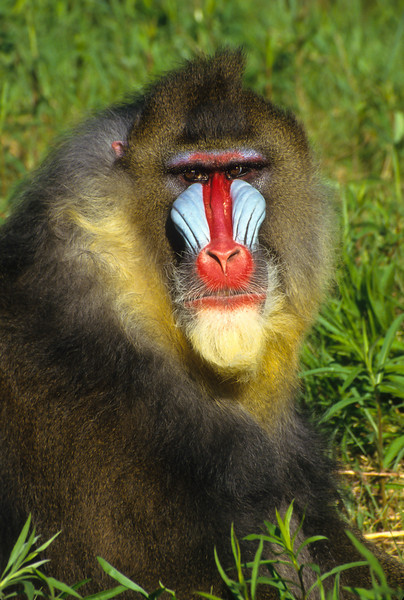 Mandrill's are omnivores and will forage for mostly plants, insects and small animals.  This can make local farmers upset, as crops can disappear.