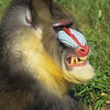 The mandrill has no problem letting us know how he feels.