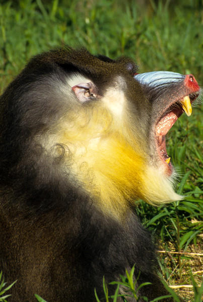 The mandrill is recognized by the grizzled light brown or olive-colored fur and grey-white-yellowish fur under their neck.  Their colorful face and rump of the males grows stronger with sexual maturity.