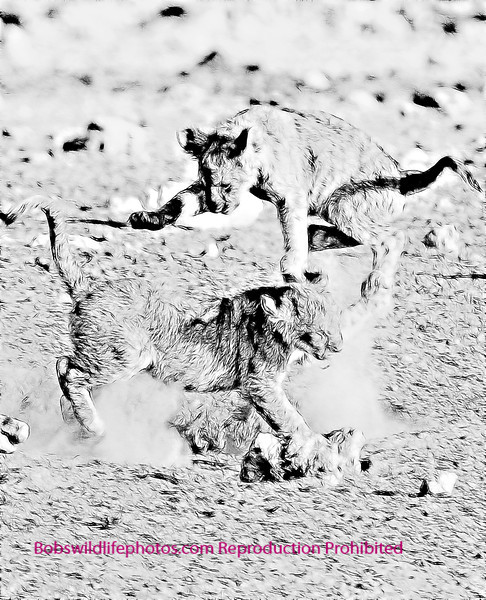 Lion Etosha 2011_0060b