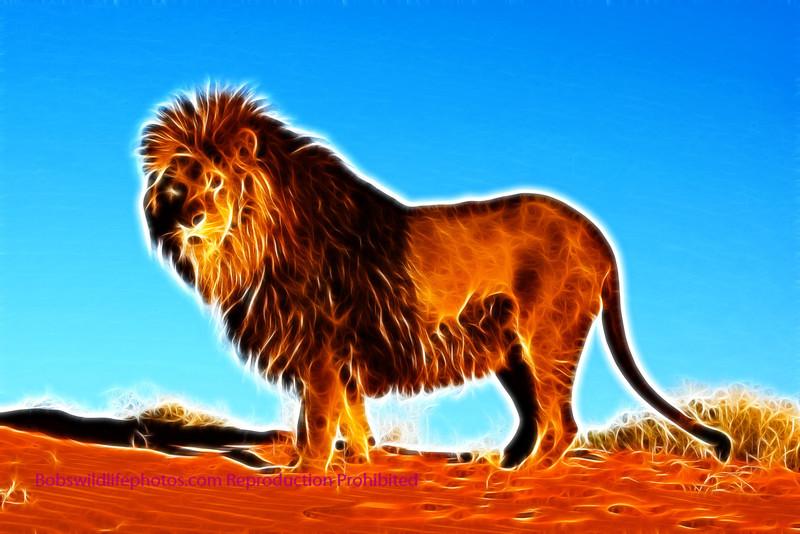 Barbary lion 2