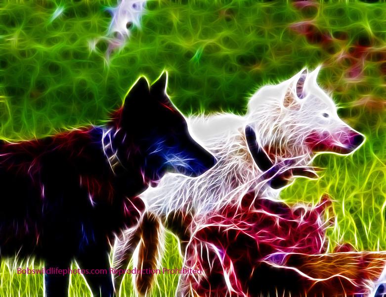 Wolves on elk kill