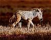 Zebra Colt 2