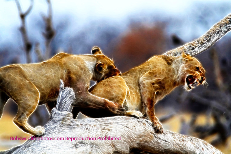 Lion Etosha 2011_0089a