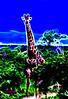 Overcast Giraffe 2
