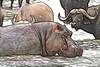 Hippo and water buffalo