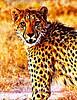 cheetah Etosha 2011 _0082b