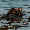 052914 otters (166)_c_e_large