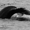 090112 whales  (119)_c 8x16_e_bw