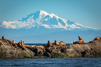 Steller's Sea Lions in front of Mount Baker.