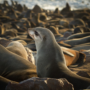 Fur seal pup - Cape Cross, Namibia.