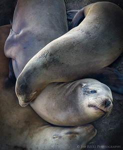 Interlocking seals - La Jolla, California