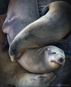 Interlocking seals - La Jolla, California