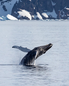 Humpback whale breach, Antarctica
