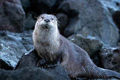 River otter playing on the beach this afternoon - Bainbridge Island, WA.