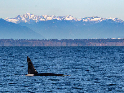 Orca male with mountains in the background.