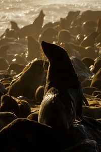Cape Cross seal colony, Namibia.