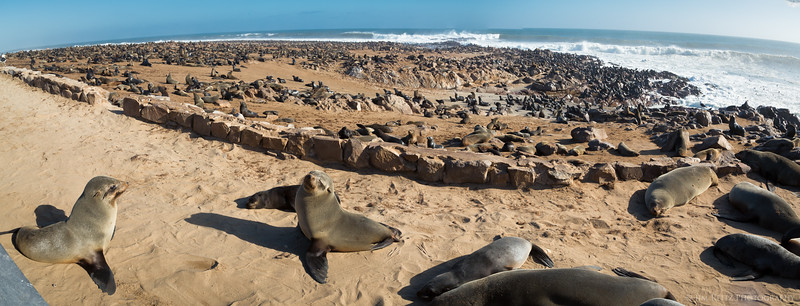 Panoramic shot of the vast colony of Cape Fur Seals at Cape Cross, Namibia.
