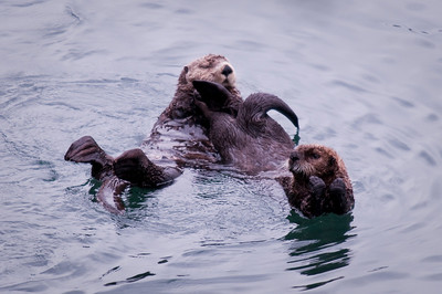 Mama & Juvenile Sea Otters Cordova Ferry Dock Alaska © 2009