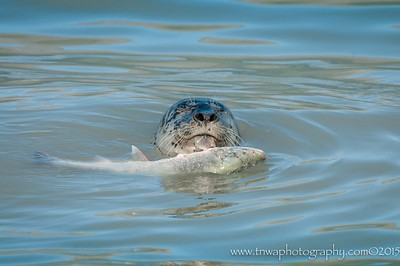 Harbour seal hanging onto salmon by a fin Valdez, Alaska © 2015  TNWA Photography / Debbie Tubridy