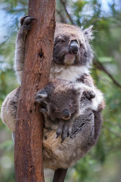 Koala Bears - Tidbinbilla 2018