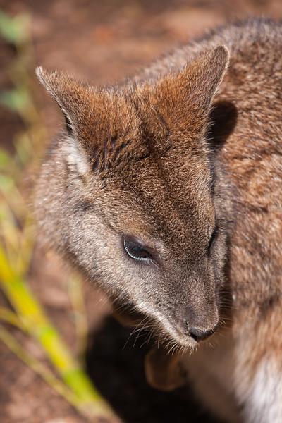 Wallabies - Canberra Zoo 2013